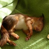 troqueur écureuil , sur mytroc