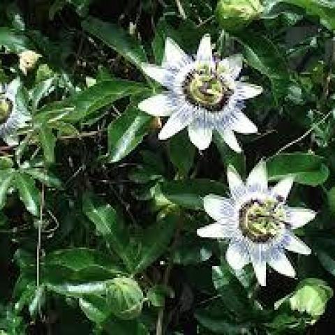 troc de  Passiflore - Fruits de la passion, sur mytroc