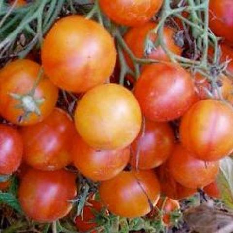 troc de  graines de tomates isis candy, sur mytroc