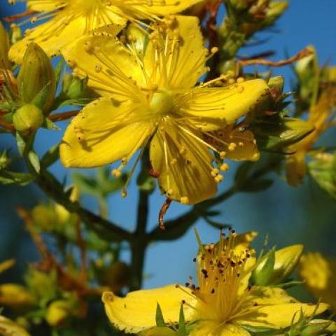 troc de  Graines de millepertuis perforé (Hypericum perforatum L.), sur mytroc