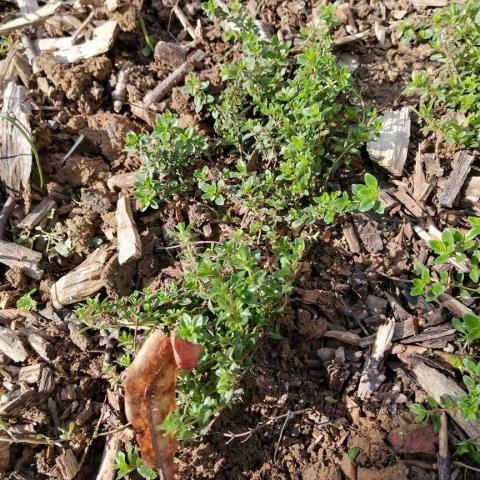 troc de  Un plant de Serpolet, sur mytroc