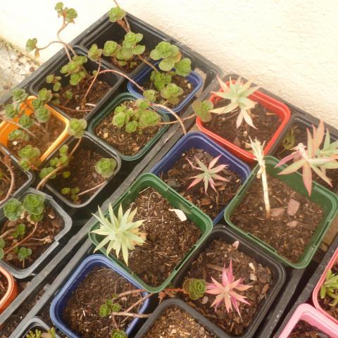 troc de  Boutures de succulentes, sur mytroc
