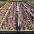 troc de troc reservé 3 grammes de safran en pistils artisanal cultivé en franche comté image 0