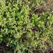 troc de troc plant de menthe marocaine image 2