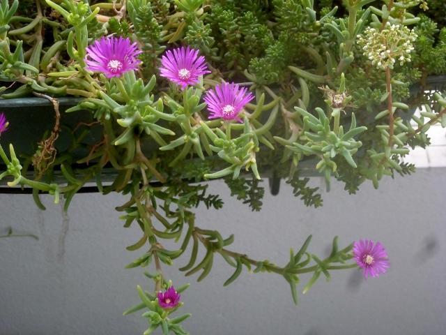 troc de troc plantes succulentes image 0