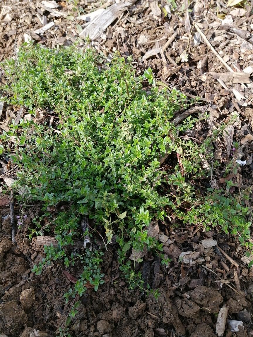 troc de troc un plant de serpolet image 1