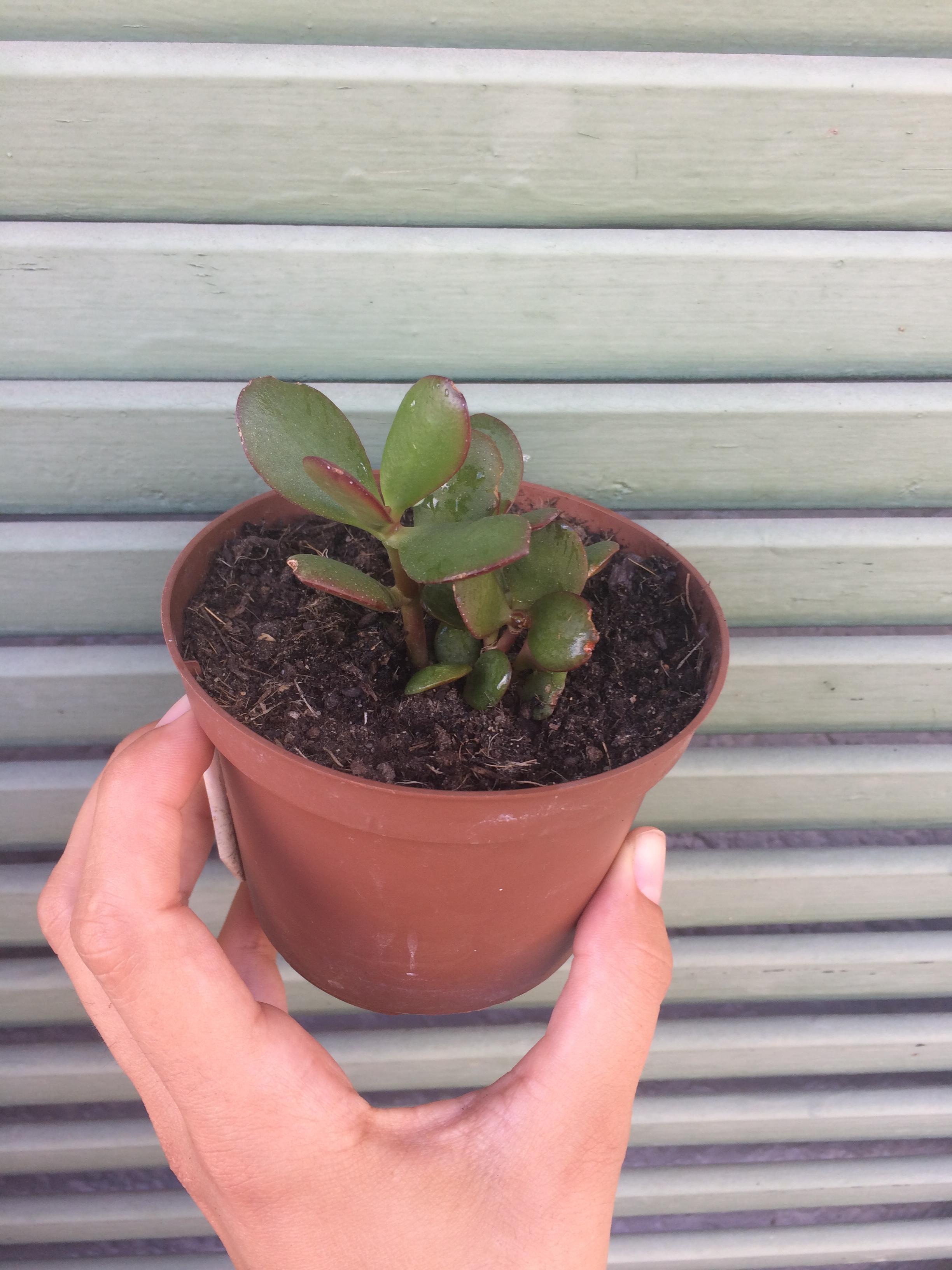 troc de troc plantes / succulentes image 2