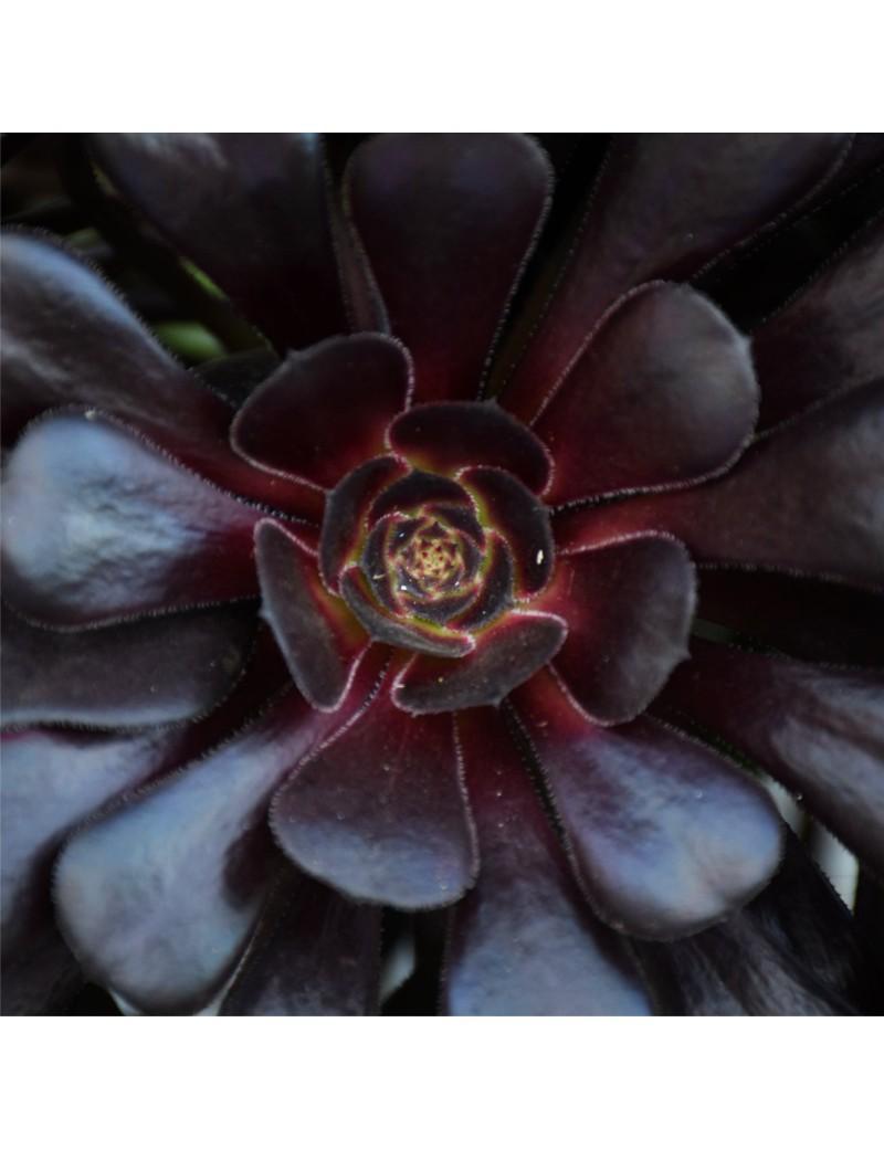 troc de troc succulentes image 0