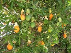 troc de troc passiflore - fruits de la passion image 1