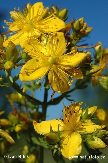 troc de troc graines de millepertuis perforé (hypericum perforatum l.) image 0
