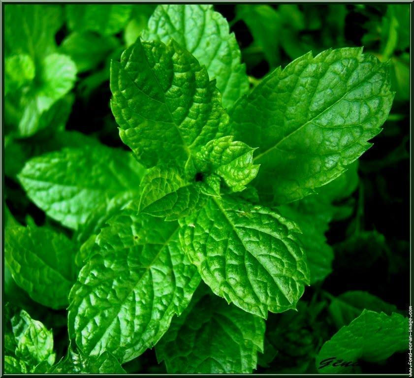 troc de troc feuilles et plants de menthe fraîche image 0